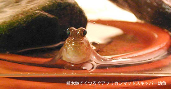 Mudskipper who relax in plant pot
